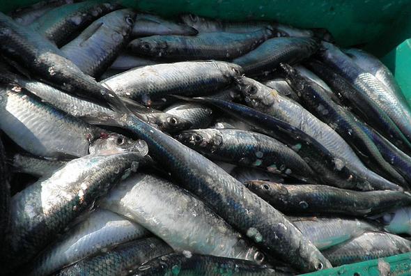 Heringe und andere fangfrische Fische stehen in Norwegen traditionell ganz oben auf der Speisekarte.
