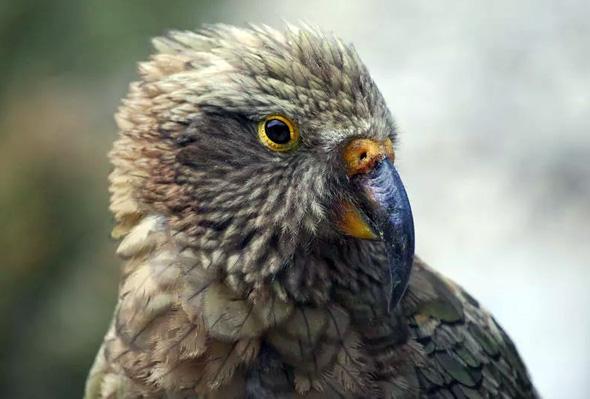"""Der Kea wurde 2017 in Neuseeland sogar zum """"Vogel des Jahres"""" erhoben."""