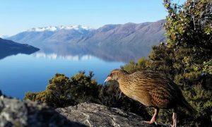 Ganz schön flatterhaft – Vogelwelt in Neuseeland