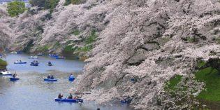 Tokio im Farbrausch:Kirschblütensaison in Japan