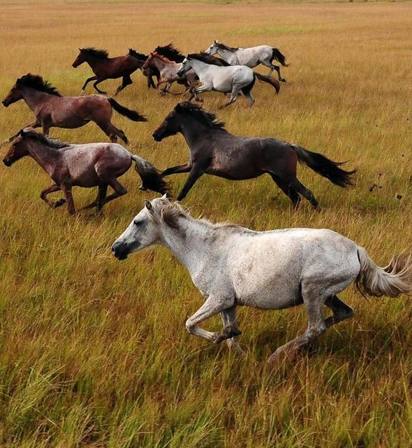 Fluss-Pferde