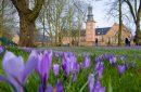 Millionen Krokusse:Husumer Frühlingsgrüße in lila