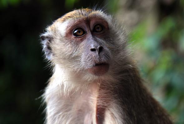 Zahlreiche Affearten tummeln sich in den belum-Regenwäldern. (Foto Karsten-Thilo Raab)
