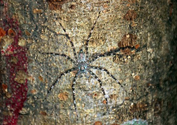 Gute getarnt hat sich diese Spinne auf einem Baumstamm im Regenwald. (Foto Karsten-Thilo Raab)