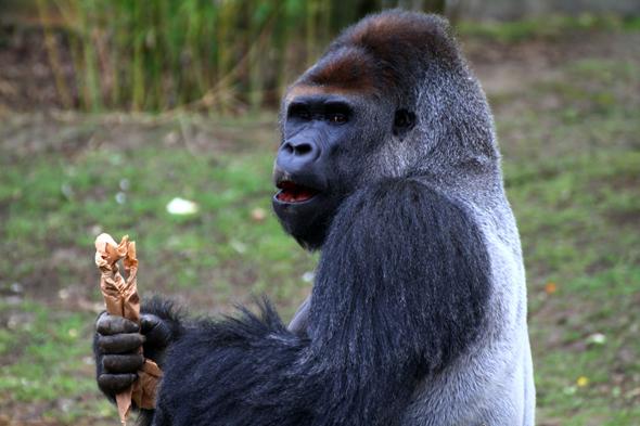 Silberrücken Kidogo ist eindeutig der Chef unter den Gorillas im Krefelder Zoo. (Foto Karsten-Thilo Raab)