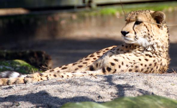 Gechillt, aber überaus aufmerksam beobachtet der Gepard das geschehen an seinem Gehege. (Foto Karsten-Thilo Raab)