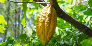 Karibikinsel Grenada feiert die Schokolade