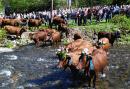 Muhende Tradition – Viehaustrieb im Oberharz