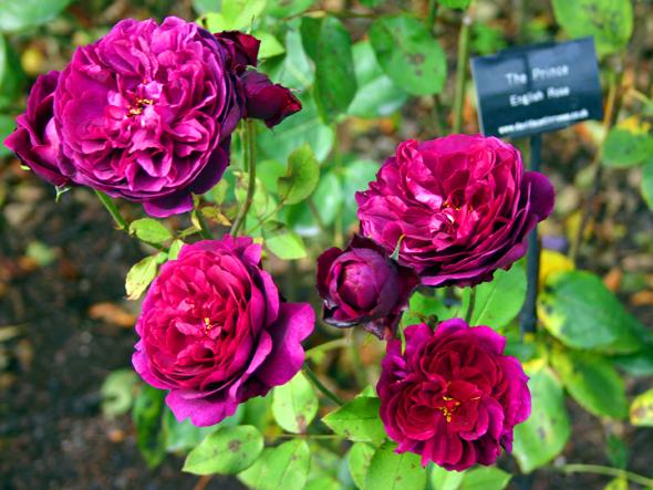 Auch die Prince English Rose ist in den famosen Gärten in Nordostengland zu bestaunen. (Foto Karsten-Thilo Raab)