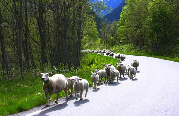 Auch tierische Begegnungen sind am Sognefjellvegen an der Tagesordnung. (Foto Karsten-Thilo Raab)