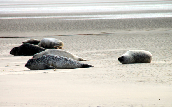 Die Seehundsbank begeistert große und kleine Inselbesucher gleichermaßen. (Foto Karsten-Thilo Raab)