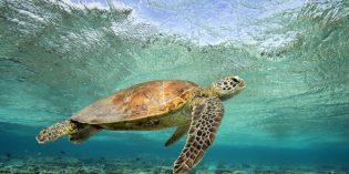 Schildkröten-Saison lockt nach Australien