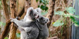 Koala-Forschern in Brisbane einmal über die Schulter schauen