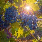 Mallorca – ein besonderes Weinanbaugebiet