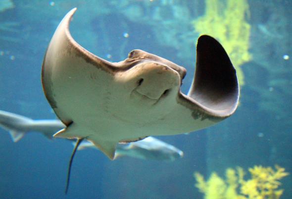Im Monterey Bay Aquarium kommen Besuchern den majestätischen Rochen ganz nah. - Foto Karsten-Thilo Raab