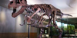Tyrannosaurus-Rex Sue auf Jagd im Field Museum
