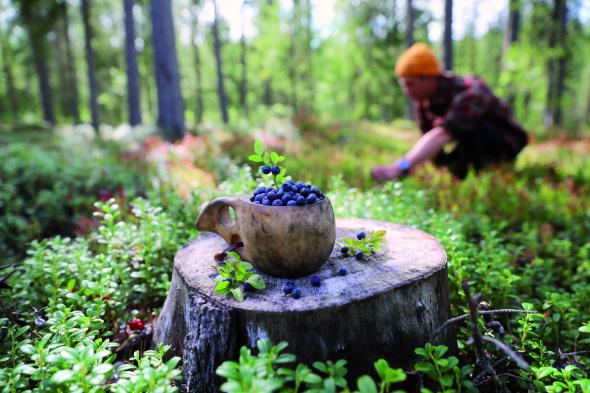 Das Jedermannrecht gestattet in Finnland allen, Beeren in freier Natur zu sammeln. - Foto Harri Tarvainen_North Karelia