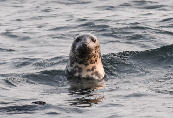 """Mit Hilfe der App """"OstSeeTiere"""" können Meeressäuger wie diese Robbe systematisch erfasst werden. - Foto L. Westphal"""