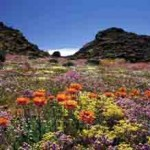 Namaqualand – das blühende Wunder Südafrikas