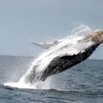 Walbeobachtung in Ecuador