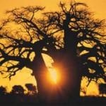 Südafrika im Bann des Baobab entdecken