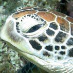 Turtle-Watching-Saison beginnt Downunder