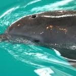 """Delfin mit Flossenprothese: """"Winter"""" erlebt in Florida seinen zweiten Frühling"""