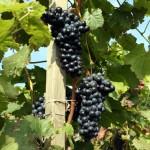 Weingut-Hopping in Queensland