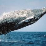 Kolumbiens grandiose Tierwelt: Buckelwale und rosa Delfine