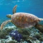 Turtle Watching im australischen Queensland