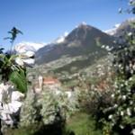 Wo der Frühling duftet, schmeckt und klingt: Südtiroler Apfelblüte