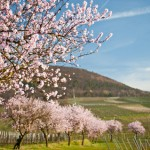 Die Deutsche Weinstraße zur Mandelblüte: Ein Traum in Rosa!