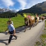 Alpen-Brauchtum im Herbst: Downhill der Kühe und Schafe in Österreich und der Schweiz