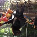 Tolga Bat Hospital – ein Krankenhaus nur für Fledermäuse im australischen Queensland