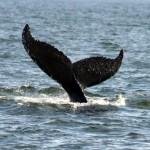 Pirschfahrten zu den sanften Riesen: Wale vor die Küste von Virginia Beach