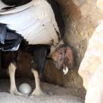 Live-Übertragung einer Kondorgeburt in Ecuador