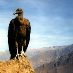 Eine Reise zu den letzten Andenkondoren