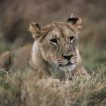 Westafrika bangt um den König der Tiere – Löwen-Population drastisch gesunken