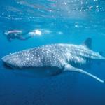 Zwischen Blechpferden und Walhaien – die kuriose Seite Westaustraliens
