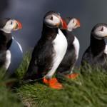 Polarfüchsen, Papageientauchern und Walen auf der Spur – Tierbeobachtung in Island