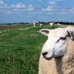 Von Bockauktion bis Lämmerball auf den 19. Nordfriesischen Lammtagen