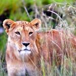 Kora Nationalpark soll zum Löwenreservat werden