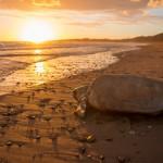 Riesenschildkröten nisten an Australiens Küste