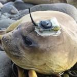See-Elefant Selso wieder in Südafrika gestrandet