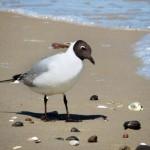 Usedom ein malerisches Refugium für Seevögel