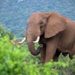 Kenia setzt ein Zeichen gegen Elfenbeinschmuggel