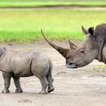 Nashörner kehren ins kenianische Samburu zurück