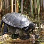 Zwischen Sumpfschildkrötenhabitat und Biberburg