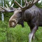 Die Souvenirs lügen nicht:Schweden hat die weltweit größte Elch-Dichte