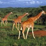 Tierwanderung in der Masai Mara hat begonnen
